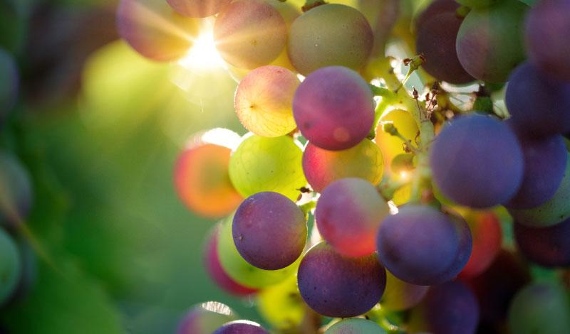 uva-vino-piemontese